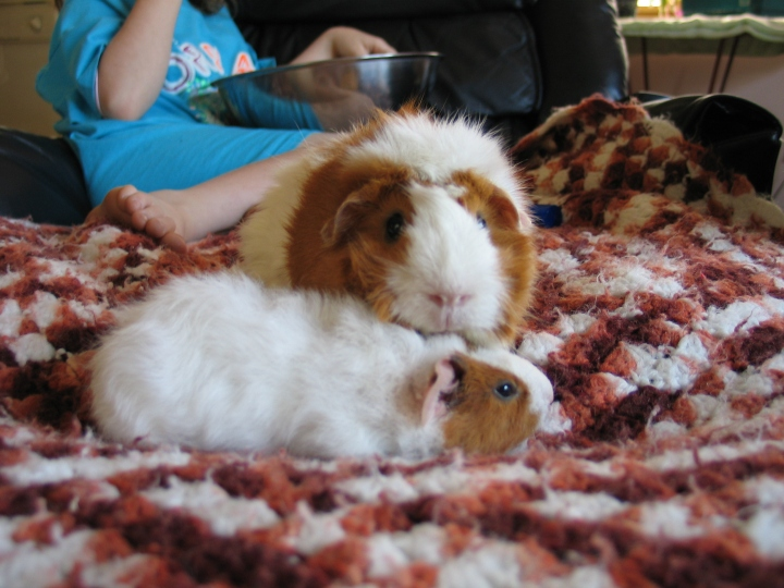 My First Guinea Pigs